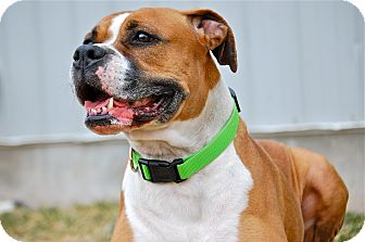 Boxer Mix Dog for adoption in Meridian, Idaho - Roxie