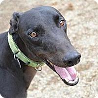 Adopt A Pet :: Flirt (D's Big Flirt) - Chagrin Falls, OH