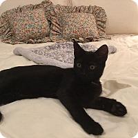 Adopt A Pet :: GIBSON - Hamilton, NJ