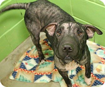 Shar Pei Mix Dog for adoption in New Orleans, Louisiana - Patti
