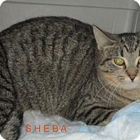 Adopt A Pet :: SHEBA - detroit, MI