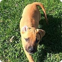 Adopt A Pet :: Snickers - Marlton, NJ