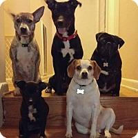 Adopt A Pet :: Costa - Spring Valley, NY