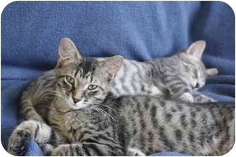 Domestic Shorthair Kitten for adoption in Montreal, Quebec - R2D2