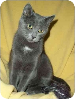 Russian Blue Kitten for adoption in Spencer, New York - Tyler