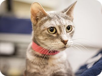 Domestic Shorthair Cat for adoption in Dallas, Texas - Shakira