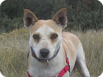 Cattle Dog/Terrier (Unknown Type, Small) Mix Dog for adoption in Ridgway, Colorado - Candy