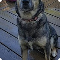 Husky/Shepherd (Unknown Type) Mix Dog for adoption in Dayton, Maryland - Abby