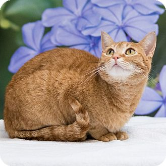 Domestic Shorthair Cat for adoption in Houston, Texas - Fran