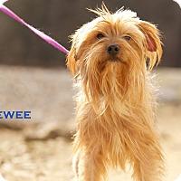 Adopt A Pet :: Pee Wee - Evansville, IN