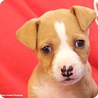 Adopt A Pet :: Macaroni - Huntsville, AL