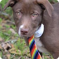 Adopt A Pet :: Huckleberry - Denver, CO