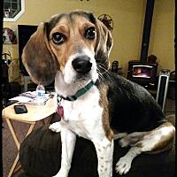 Adopt A Pet :: Snap - Yardley, PA
