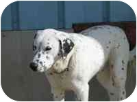 Dalmatian Mix Dog for adoption in Milwaukee, Wisconsin - Spot