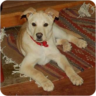 Labrador Retriever/German Shepherd Dog Mix Puppy for adoption in Chula Vista, California - Kai
