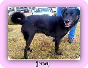 Chow Chow/Labrador Retriever Mix Dog for adoption in Eddy, Texas - Jersey