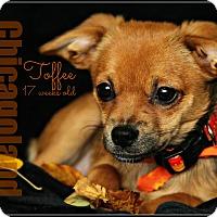 Adopt A Pet :: Toffee - Elmhurst, IL