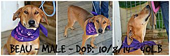 Hound (Unknown Type) Mix Dog for adoption in Siler City, North Carolina - Beau