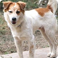 Australian Shepherd Mix Dog for adoption in Woonsocket, Rhode Island - Harper - MEET HIM