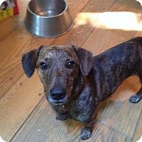 Adopt A Pet :: Doodles - Stamford, CT