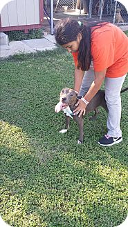 American Pit Bull Terrier Dog for adoption in San Antonio, Texas - Troy