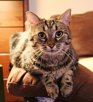 Domestic Shorthair Cat for adoption in Dallas, Texas - Maya