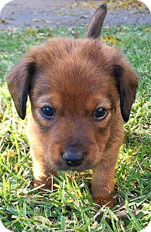 Dachshund Mix Puppy for adoption in Wichita Falls, Texas - Zack