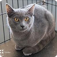 Adopt A Pet :: Tombo - Merrifield, VA