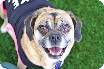 Pug/Beagle Mix Dog for adoption in Pittsburg, California - *Boka Kibble