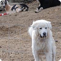 Adopt A Pet :: Samson - Claremont, NC