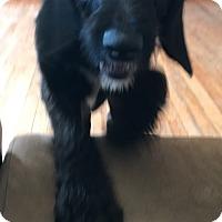 Adopt A Pet :: gaston - Pompton Lakes, NJ