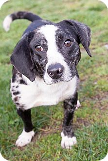 Feist/Rat Terrier Mix Dog for adoption in Sparta, New Jersey - Mohave