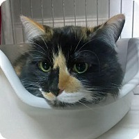 Adopt A Pet :: Patches - Palo Cedro, CA