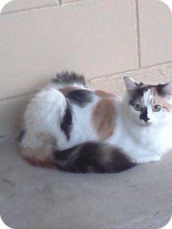 Calico Cat for adoption in Orlando, Florida - Chloe