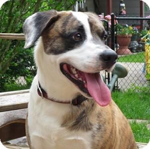 Boxer Mix Dog for adoption in Hamilton, Ontario - Bandit