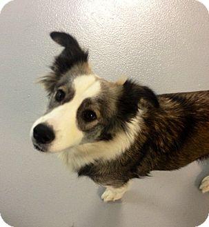 Collie/Husky Mix Dog for adoption in Muskegon, Michigan - Jade