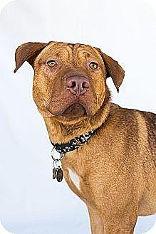 Labrador Retriever/Shar Pei Mix Puppy for adoption in Livonia, Michigan - Alfie