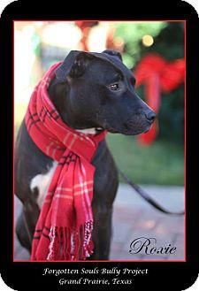 Labrador Retriever/Pit Bull Terrier Mix Dog for adoption in Grand Prairie, Texas - Roxie