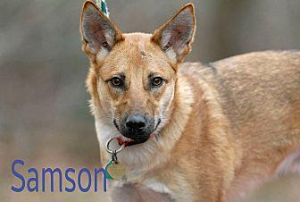 German Shepherd Dog Mix Dog for adoption in Pottsville, Pennsylvania - Samson