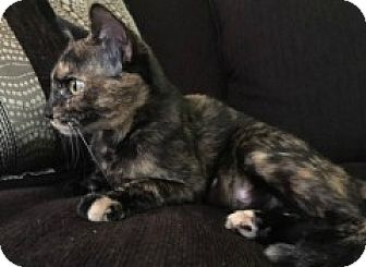 Domestic Shorthair Cat for adoption in McHenry, Illinois - Autumn