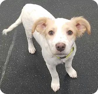Pointer Mix Puppy for adoption in DeForest, Wisconsin - Sylvia