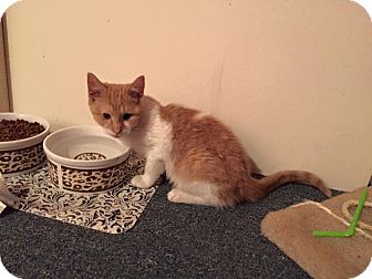 Domestic Shorthair Kitten for adoption in Brick, New Jersey - Inspector