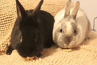 Lionhead Mix for adoption in Hillside, New Jersey - Buttons and Bows