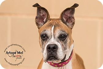 Boxer Dog for adoption in Hurst, Texas - Sister Bertrille