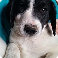 Adopt A Pet :: Joshua - Lexington, KY
