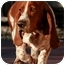 Photo 1 - Basset Hound Dog for adoption in Phoenix, Arizona - Jay-Z