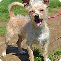Adopt A Pet :: *Remy - PENDING - Westport, CT