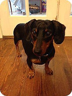Dachshund Dog for adoption in Decatur, Georgia - Connor