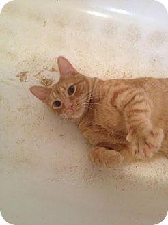 Domestic Mediumhair Cat for adoption in New York, New York - Charlie