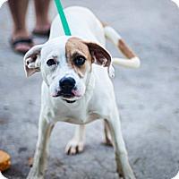 Adopt A Pet :: Lottie - Leesburg, VA